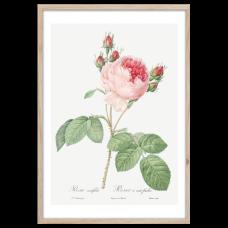 Постер Styler OB13805 FP018 Розовая роза 50x70 см